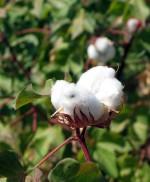Cotton Turkmenistan Ashgabat