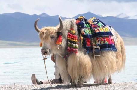 tibetan-yak